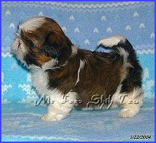 Image: shih tzu puppy 6 weeks old, show side.