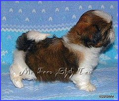 Image:shih tzu puppy 6 weeks old, off side