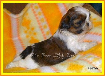 Image:Shih tzu puppy Autumn at 4 weeks old.