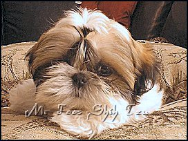 Dylan & DeeDee shih tzu puppy from 1st litter.