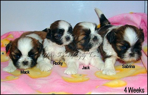 Autumn's 1st litter of Shih tzu Puppies.
